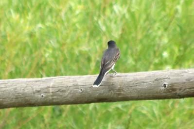 Eastern Kingbird @ Carolyn Holmberg Preserve