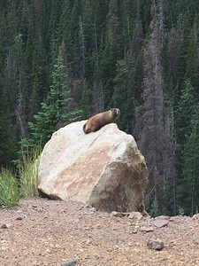 Marmot @ Fall River Road in Rocky Mountain NP