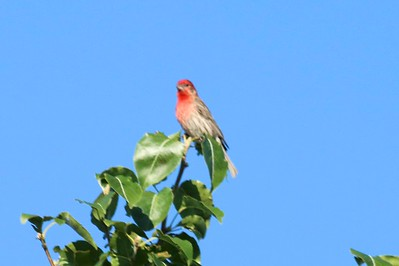 House Finch (Male) @ Abilene / Holiday Inn