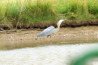 Great Blue Heron @ Pond West of Stearns Lake