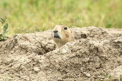 Prairie Dog @ Carolyn Holmberg Preserve