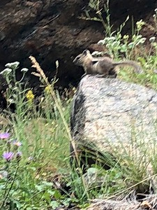 Chipmonk @ Fall River Road in Rocky Mountain NP