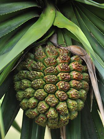 Limahuli Garden, hala fruit, great for making lei