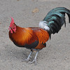 Strutting his stuff wearing beautifully colored, elegant feathers