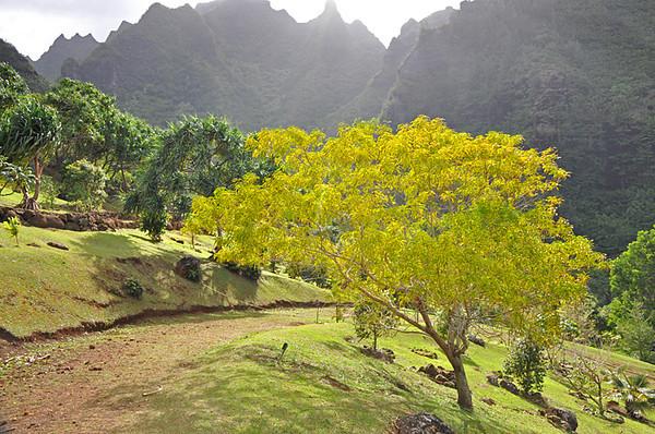 Limahuli Garden, glowing koa tree