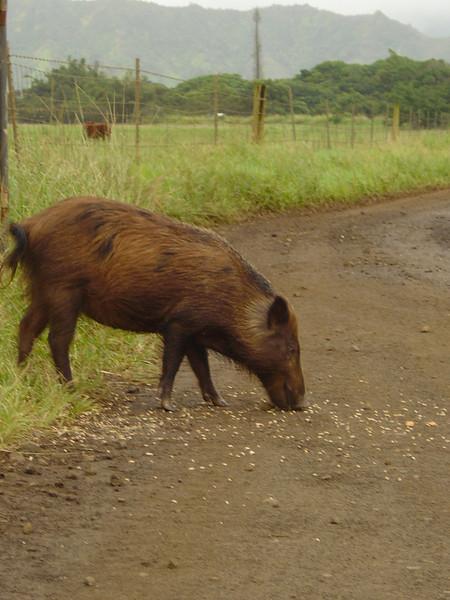 Wild Pig on Kipu Ranch