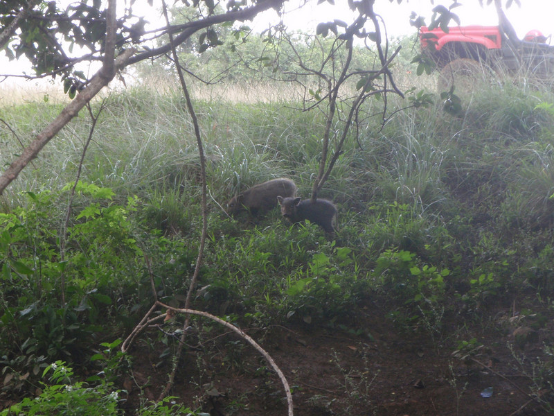 Wild baby pigs at our lunch spot during the ATV Tour on Kipu Ranch