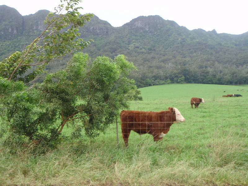 Cows on Kipu Ranch