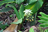 Tumeric, Limahuli Garden and Preserve, Kauai.