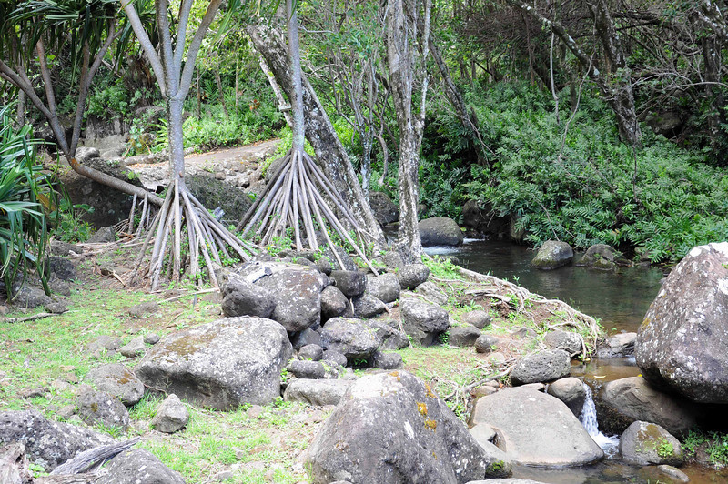Hala tree, Limahuli Garden and Preserve, Kauai.