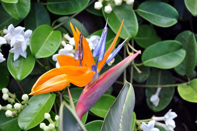 Bird of Paradise, Limahuli Garden and Preserve, Kauai.