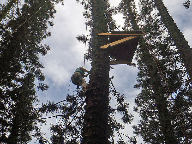 Wendy is climbing the pine tree, past the 50' point to get to the top at 100 feet!