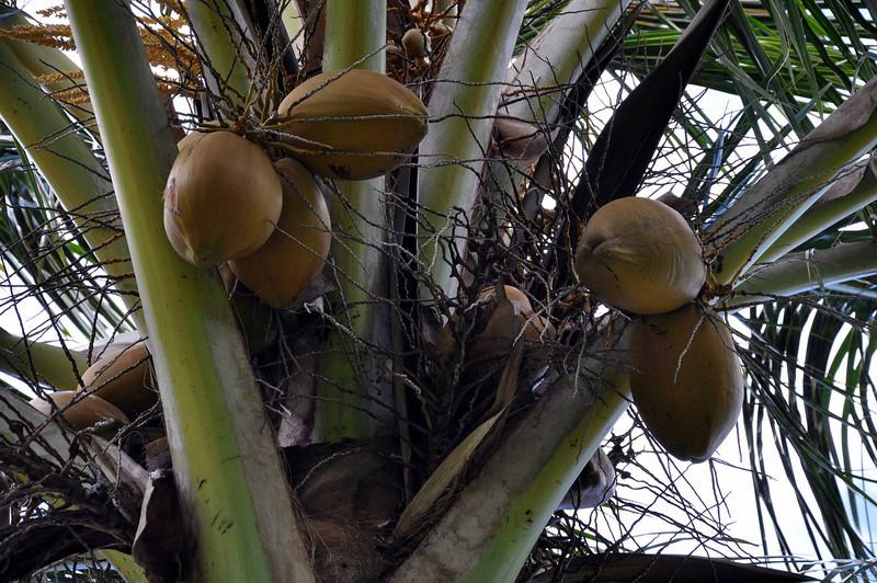 Coconut Palm, Limahuli Garden and Preserve, Kauai.