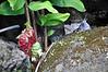 The flower head of Shampoo Ginger, Limahuli Garden and Preserve, Kauai.