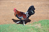 On Kauai, one of the first things to notice are the roosters (crowing at all hours of the day) and the chickens. Lots of them, roaming over almost all areas of Kauai! They were liberated from their cages by Hurricane Iniki on Sept. 11, 1992 -- the most powerful hurricane to strike the Hawaiian islands in recorded history. The eye passed directly over Kauai. The chickens and roosters have managed to survive on their own, ever since.