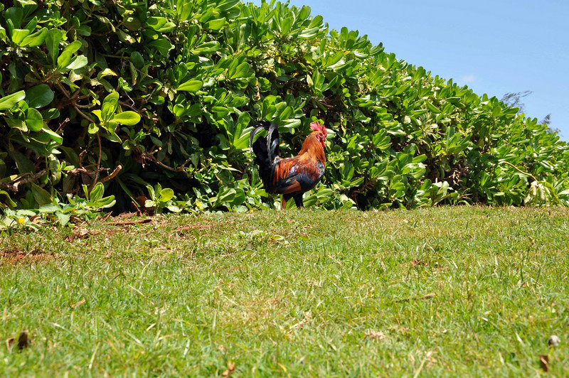 Yet another Kauai rooster patrols the vendor area, near Spouting Horn.