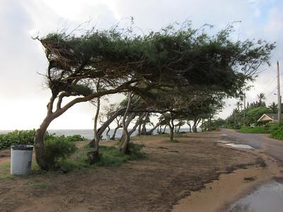 Windblown trees on the beach