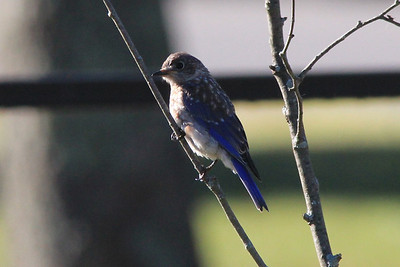 September 22, 2013 - (Mammoth Cave Visitor Center [parking lots] / Mammoth Cave National Park, Edmonson County, Cave City, Kentucky) -- Immature Eastern Bluebird