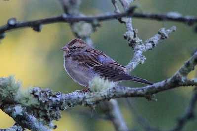 September 23, 2013 - (Mammoth Cave Hotel [parking lots] / Mammoth Cave National Park, Edmonson County, Cave City, Kentucky) -- Chipping Sparrow