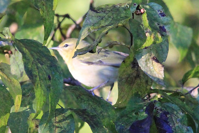 September 22, 2013 - (Mammoth Cave Hotel [parking lots] / Mammoth Cave National Park, Edmonson County, Cave City, Kentucky) -- Tennessee Warbler