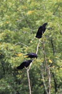 September 21, 2013 - (Mammoth Cave Hiking Trails [wooded trails by Green River] / Mammoth Cave National Park, Edmonson County, Cave City, Kentucky) -- American Crows