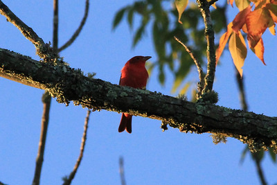 September 22, 2013 - (Mammoth Cave Hotel [parking lots] / Mammoth Cave National Park, Edmonson County, Cave City, Kentucky) -- Scarlet Tanager [one of numerous & vocal Tanagers]