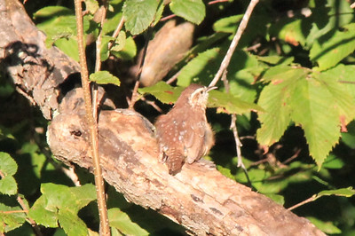 September 22, 2013 - (Mammoth Cave Hotel [parking lots] / Mammoth Cave National Park, Edmonson County, Cave City, Kentucky) -- Carolina Wren