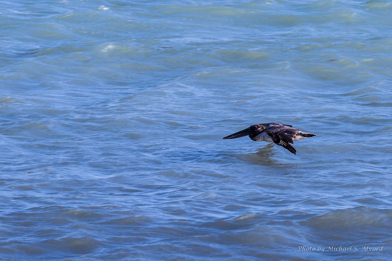 The pelicans would fly close to the water and climb in a circle and dive on the fish.