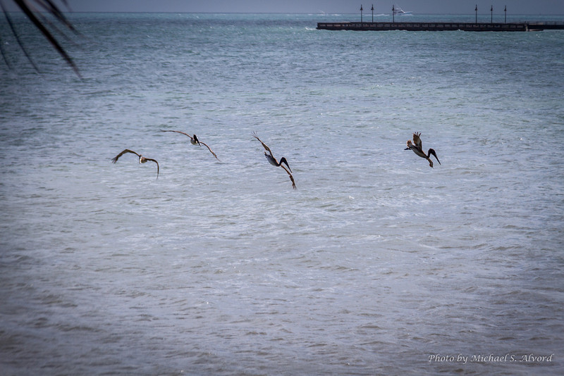 Pelicans would circle and dive into the water looking for food.