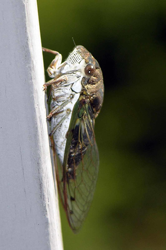 August 2004 - a locust on the condo deck