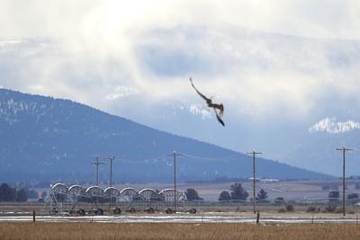 Klamath Lake trip birds Jan2016  112