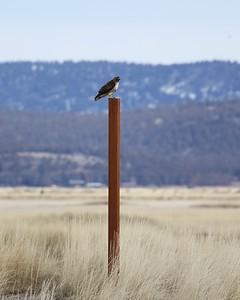 Klamath Lake trip birds Jan2016  033