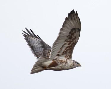 Klamath Lake trip birds Jan2016  009