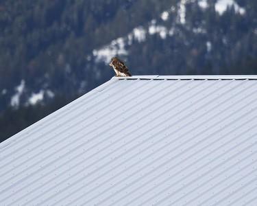 Klamath Lake trip birds Jan2016  017
