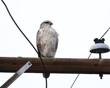 Klamath Lake trip birds Jan2016  003