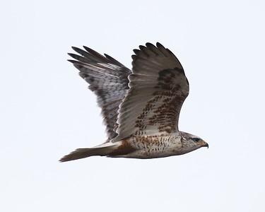 Klamath Lake trip birds Jan2016  007