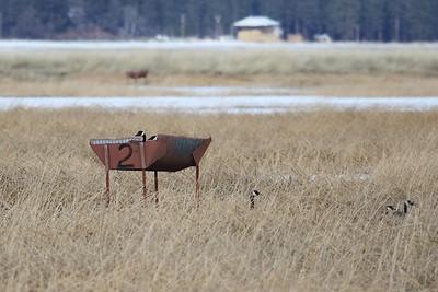 Klamath Lake trip birds Jan2016  046