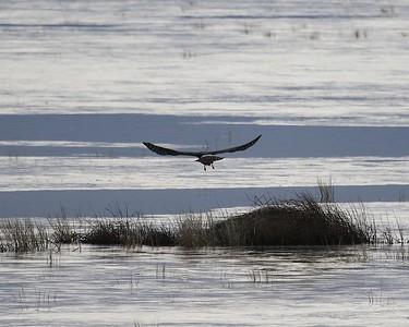 Klamath Lake trip birds Jan2016  040