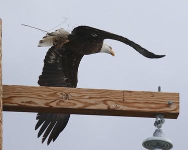 Klamath Lake trip birds Jan2016  095