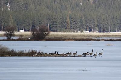 Klamath Lake trip birds Jan2016  050