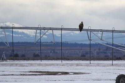 Klamath Lake trip birds Jan2016  075