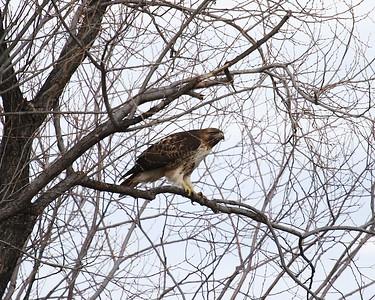 Klamath Lake trip birds Jan2016  028