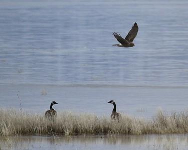 Klamath Lake trip birds Jan2016  036