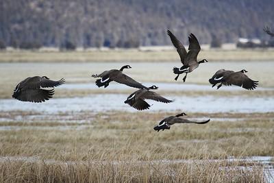 Klamath Lake trip birds Jan2016  044