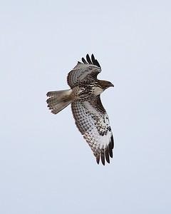 Klamath Lake trip birds Jan2016  081