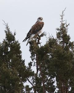 Klamath Lake trip birds Jan2016  063