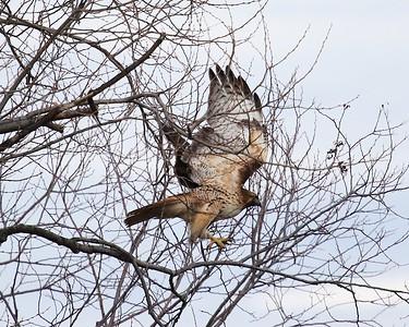 Klamath Lake trip birds Jan2016  029