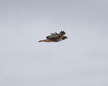 Klamath Lake trip birds Jan2016  115