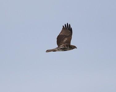 Klamath Lake trip birds Jan2016  079