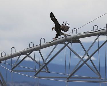 Klamath Lake trip birds Jan2016  102
